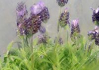 french_lavender3